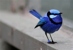 blauerVOGEL